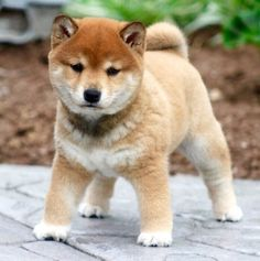 Shiba Inu Mix Puppies for Sale Shiba Inu Corgi Mix, Chien Shiba Inu, Japanese Dog Breeds, Japanese Dogs, Baby Dogs, Pet Dogs, Dog Cat, Doggies, Cute Puppies