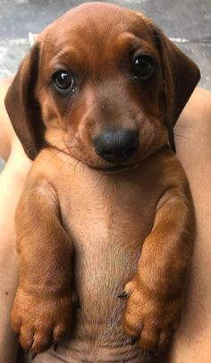 Coloring Pages Of Cute Dogs And Puppies outside Cute Animals New Zealand Cute Little Animals, Cute Funny Animals, Funny Dogs, Funniest Animals, Funny Puppies, Weenie Dogs, Dachshund Puppies, Doggies, Dapple Dachshund