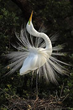Great Egret in mating display (Ardea Alba), Everglades National Park, Florida
