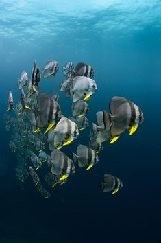 safety stop in the blue a schooling spade fish appeared and came really close