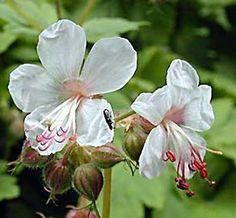 Géranium vivace rhizomateux 'Spessart' Geranium macrorrhizum 'Spessart' Persistant