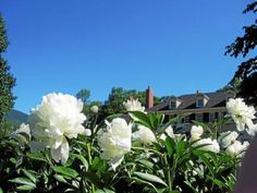Tree peonies bloom in the French parterre garden at Hildene in Manchester, Vt.