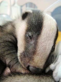 Badger cubs at Secret World by Secret World Wildlife Rescue, via Flickr