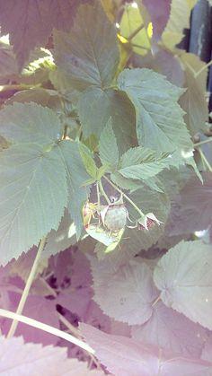 Kněžice zelená (Palomena viridissima) Foceno u nás na zahradě
