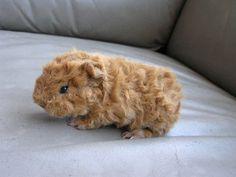 How long do guinea pigs life span?