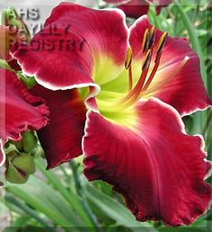 Daylily Cherokee Beauty (Carpenter-J. Day Lilies, Water Lilies, Save Mother Earth, Mother Nature, Beautiful Gardens, Beautiful Flowers, Little Free Pantry, Daylily Garden, Cacti And Succulents