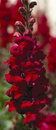Snapdragon, Aromas Hybrid Red Spice Antirrhinum, Annual Flower Seeds