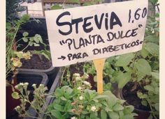 What is Stevia and What Can It Do For You?