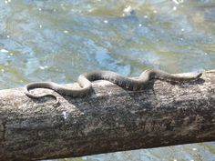 images of snakes on a log | GordonGrice.com: Northern Water Snake (1 of 2)