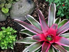 This is the current bromeliad we are trying.