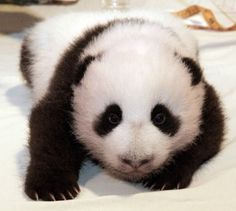 baby pictures of pandas | cute little baby pandas graphics and comments