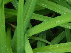 dew +grass
