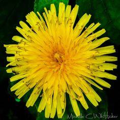 Useful Herb, Pretty Flower Or Weed - dandelion
