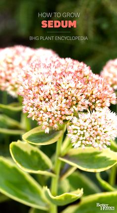 These nearly perfect plants look beautiful all growing season long. Learn all about Sedum: http://www.bhg.com/gardening/plant-dictionary/perennial/sedum/?socsrc=bhgpin102113sedum