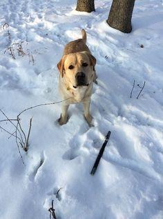 Fetch It- Playing from Scratch Fun Learning, Labrador Retriever, Play, Labrador Retrievers, Chocolate Labradors, Labrador Retriever Dog