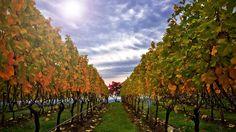Dundee Hills Vineyards
