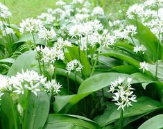 A delicious sign of the old, wild garlic is also known as ramsons. Look for them in shady woods where they coat the woodland floor in spring. The second half of the Latin name, ursinum, refers to the fact that brown bears loved to eat the bulb. This also gave rise to two of its common names – bear's leek and bear garlic. Info: Woodland Trust Wild Garlic Plant, Edible Wild Mushrooms, Types Of Onions, Wild Onions, Plant Fungus, Container Vegetables, Wild Edibles, Plant Sale, Fruit Garden
