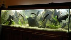 Amazon Biotope Aquarium | ... . Eventually, I want this tank to resemble a flooded Amazon forest