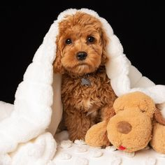 The Cavapoo is a crossbreed that results from breeding a Poodle and a Cavalier King Charles Spaniel. Cavapoos were initially created to be hypoallergenic dogs and thus the ideal companion for… Super Cute Puppies, Cute Little Puppies, Cute Little Animals, Cute Dogs And Puppies, Pet Dogs, Pets, Doggies, Rescue Dogs, Cavapoo Puppies