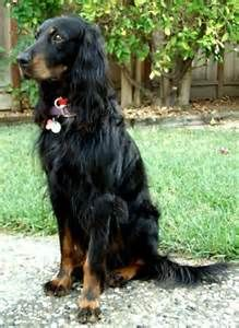 gordon setter - - Yahoo Image Search Results