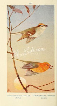 Golden-crowned Kinglet, Prothonotary Warbler      ...