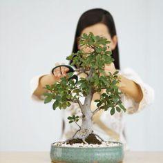 The Steps to Prune the Perfect Jade Bonsai The succulent jade plant (Crassula ovata) grows wild in i Jade Plant Pruning, Bonsai Pruning, Bonsai Plants, Bonsai Garden, Bonsai Trees, Garden Pots, Jade Bonsai, Succulent Bonsai, Planting Succulents