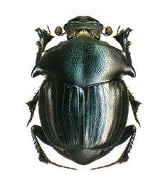 Onthophagus potanini