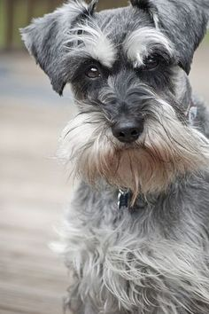 Miniature Schnauzer by Elis Wilkins Photography