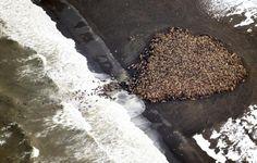 Imagen aérea de las morsas varadas en la costa de Alaska.  Al menos 35.000 morsas varadas en Alaska como consecuencia del calentamiento global