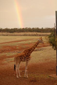 Giraffe & Rainbow