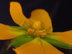 Cruz-de-malta - Ludwigia tomentosa por @HerSander, via Behance #FlorDeMato