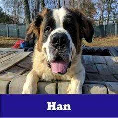 1/2/17 Armonk, NY Check out Han's profile on AllPaws.com and help him get adopted! Han is an adorable Dog that needs a new home. https://www.allpaws.com/adopt-a-dog/saint-bernard/5695116?social_ref=pinterest