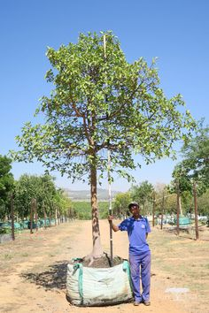 This large, fast-growing evergreen is indigenous to South Africa and is suitable for large estates and parks. Able to reach impressive heights, this majestic tree would be a feature in any landscape. Fast Growing Shrubs, Fast Growing Evergreens, Growing Tree, Ficus, Garden Maintenance, Evergreen Trees, Garden Trees, To Reach, South Africa