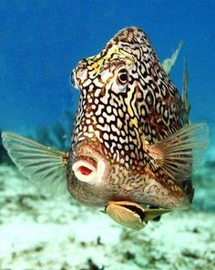 Honeycomb Cowfish - by Underwater World Of Secret Wonders #Boxfish
