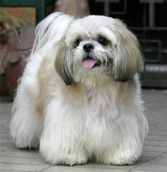 Image result for shih tzu dogs