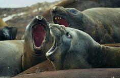 """""""Os Três Tenores"""", elefantes-marinhos-do-sul, na Antártica. Mirounga leonina.  Fotografia: Jerzy Strzelecki.  – Wikipédia, a enciclopédia livre."""