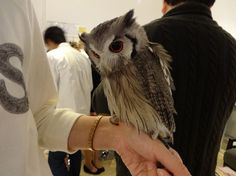 Fukuro no Mise is a busy cafe in the Central Tokyo, Japan neighborhood of Tsukishima that allows its patrons to interact with all kinds of domesticated owls while enjoying their tea. While there ar...