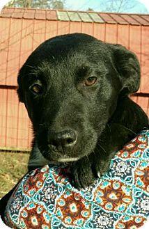 Hagerstown, MD - Border Collie/Labrador Retriever Mix. Meet Sheba, a puppy for adoption. http://www.adoptapet.com/pet/17671061-hagerstown-maryland-border-collie-mix