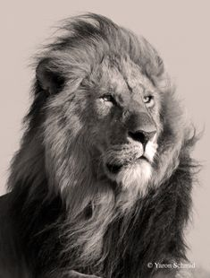 black and white lion photography Animal Sketches, Animal Drawings, Big Cats, Cool Cats, Black And White Lion, Lion Photography, Lion Sketch, Lion Wallpaper, Trendy Wallpaper