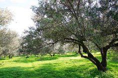 olive oil MOUTAFI Olive Tree, Fantasy Landscape, Olive Oil, Plants, Plant, Planets