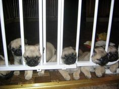 omg these sad lil pug puppies are too cute!