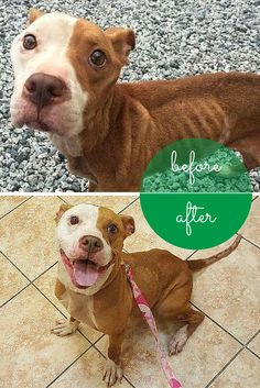 When Kimmy was taken in by @nycsecondchance, it looked like she could be close to the end. Kimmy was one of the worst cases of emaciation that the rescue group had ever seen — but with a whole lot of love, she has made one of the most amazing transformations ever.