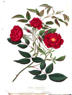 """The """"ever-blowing rose."""" Roses, or, A Monograph of the Genus Rosa, Vol. 2, by Henry Charles Andrews."""