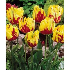 Parrot Tulips Texas Flame £5.25per 20 Next day Dispatch