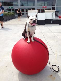 This is now an historical photo. Angus perched atop the Target ball.