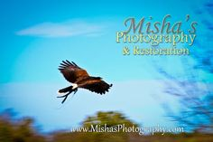 Harris Hawk in Flight Harris Hawk, Let's Create, Life Is An Adventure, Some Fun, Restoration, The Originals, Movies, Movie Posters, Photography