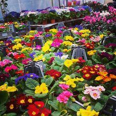 Primula Four Square, Plants, Plant, Planets