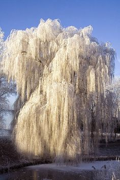 Beautiful winter - Ice on a weeping willow tree