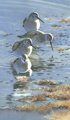 Federico Gemma - Wildlife Artist: watercolour
