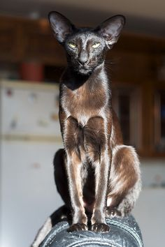 Black Oriental Shorthair Cat.....stunning